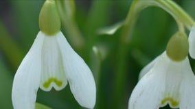 Śnieżyczki lub galanthus kwiatu zbliżenie zdjęcie wideo
