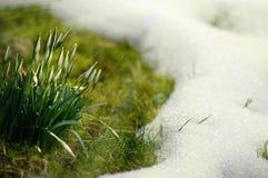 Śnieżyczki na zielonej łące z trawą i śniegiem obrazy stock