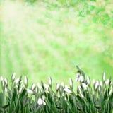 Śnieżyczki na zielonym abstrakcjonistycznym tle Fotografia Royalty Free