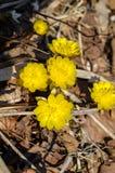 Śnieżyczki Primorye terytorium piękny i żywy kolor żółty Obrazy Royalty Free