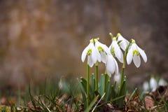 Śnieżyczki w zielonej trawie zdjęcia royalty free