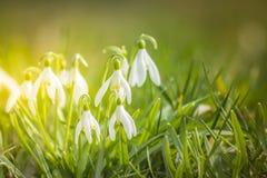 Śnieżyczki wiosny kwiaty Delikatny śnieżyczka kwiat jest jeden wiosna symbole mówi my zima opuszcza i grzałkę obraz stock