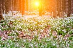Śnieżyczki wiosny kwiaty Delikatny śnieżyczka kwiat jest jeden wiosna symbole mówi my zima opuszcza i grzałkę zdjęcie royalty free
