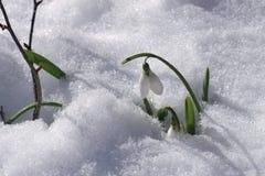 Śnieżyczki zima Zdjęcia Stock