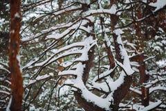 Śnieżysta gałąź przy zmierzchem Zdjęcia Royalty Free
