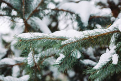 Śnieżysta gałąź przy zmierzchem Fotografia Royalty Free