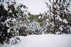 Śnieżysta gałąź przy zmierzchem Obraz Stock
