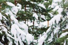 Śnieżysta gałąź przy zmierzchem Zdjęcia Stock