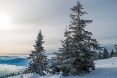 Śnieżysta jodła na zboczu zdjęcie royalty free