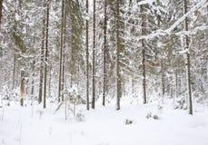 Śnieżysta sosna i świerczyna obraz stock
