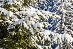 Śnieżyste świerczyn gałąź obrazy royalty free