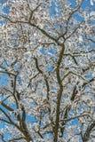 Śnieżyste gałąź akacja obrazy stock