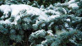 Śnieżyste gałąź błękitna świerczyna w zima lesie zdjęcie stock