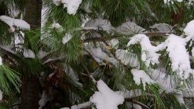 Śnieżysty cedr w zimie Piękny zielony cedrowy śnieżysty w strzale Gałąź zielony duży piękny zbiory wideo