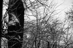 Śnieżysty dąb w Stycznia lesie zdjęcie stock