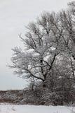 Śnieżysty dębowy drzewo na krawędzi lasu Obrazy Royalty Free