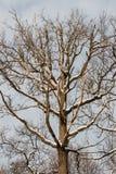 Śnieżysty dębowy drzewo, nasłoneczniony, przeciw niebu Zdjęcia Royalty Free