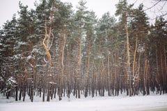 Śnieżysty las przy zmierzchem Obraz Stock