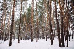 Śnieżysty las przy zmierzchem Obraz Royalty Free