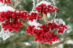 Śnieżysty viburnum Zdjęcie Royalty Free