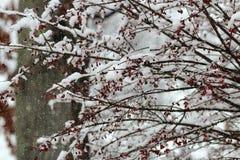 Śnieg gałęziaste jagody Obraz Stock