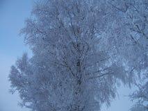 Śnieg, hoarfrost, drzewa w zimie w ciężkim mrozie, zakończenie w górę, tło, zdjęcie stock