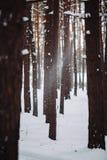 Śnieg iść puszek od gałąź w lesie Obraz Stock