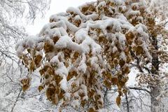 Śnieg i mróz na gałąź drzewa obrazy stock
