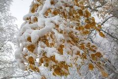 Śnieg i mróz na gałąź drzewa fotografia stock