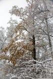 Śnieg i mróz na gałąź drzewa obraz stock