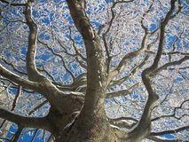 Śnieg i mróz na Wielkim zimy drzewie zdjęcie royalty free