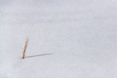 Śnieg jest suchym trawą. Fotografia Royalty Free