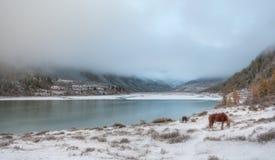 Śnieg, konie, trawa, halna stopa, Altai, góra Belukha zdjęcia stock