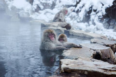 Śnieg małpa zdjęcie stock