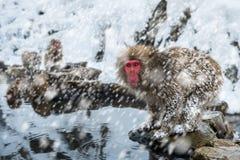 Śnieg małpa Fotografia Royalty Free