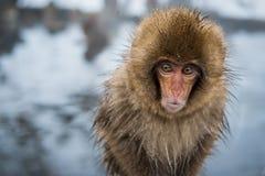 Śnieg małpa Fotografia Stock