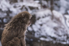 Śnieg małpa Obraz Royalty Free