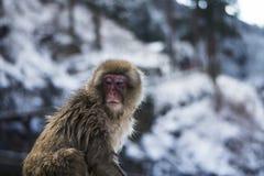 Śnieg małpa Obrazy Royalty Free