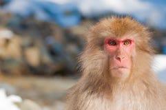 Śnieg małpa Zdjęcie Royalty Free