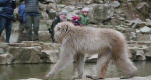 Śnieg małpa chodzi wzdłuż obręcza gorąca wiosna jako rodzinny zegarek od strony przeciwnej onsen zbiory