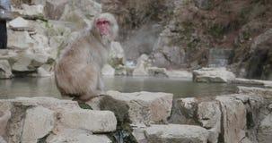 Śnieg małpa chodzi wzdłuż obręcza onsen, gorąca wiosna zwroty spojrzenie, wtedy wokoło zbiory wideo