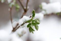 Śnieg na drzewo liściach w wiośnie Zdjęcia Royalty Free