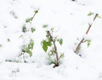 Śnieg na drzewo liściach w wiośnie Obraz Stock
