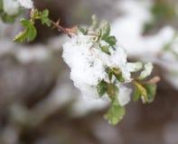 Śnieg na drzewo liściach w wiośnie Obrazy Royalty Free