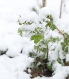 Śnieg na drzewo liściach w wiośnie Obraz Royalty Free