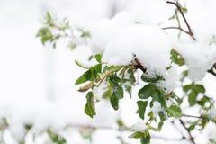 Śnieg na drzewo liściach w wiośnie Zdjęcie Stock