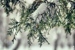 Śnieg na gałąź jedlinowy drzewo Fotografia Stock