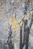 Śnieg na gałąź z żółtymi liśćmi Zdjęcia Stock