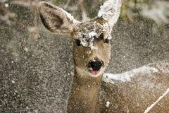 śnieg na jelenie zdjęcia stock