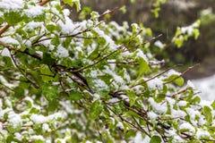 Śnieg na krzakach w Maju, Minsk, Białoruś Fotografia Stock